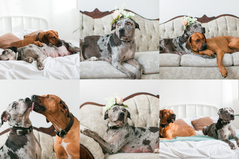 Cardi Catahoulas - Lindsey Parkin Photography - Dog Boudoir Maternity Session